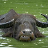 sick buffalo