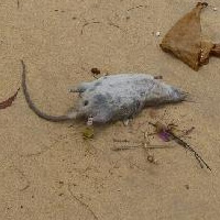 Rat washed up on beach