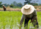 rice farming in Thailand